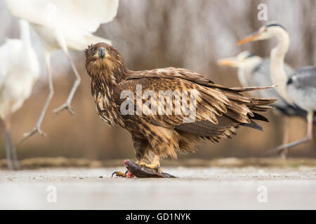 Juvenile White-tailed Eagle (Haliaeetus albicilla) with a fish on a frozen lake, Grey Herons and Great Egrets in - Stock Photo