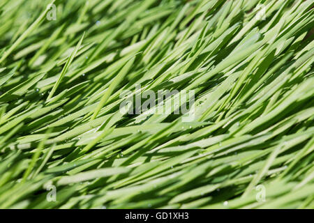 Barley growing like grass in summer in Palmer, Southcentral Alaska. - Stock Photo