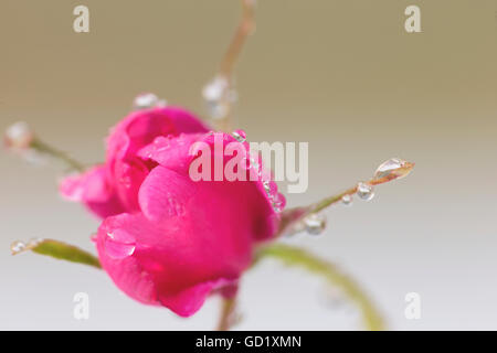 Close up of a Sitka rose with water droplets on its petals, Palmer, Southcentral Alaska, summer. - Stock Photo