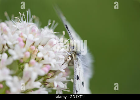 Small Apollo butterfly (Parnassius Phoebus resting on a patch of sitka valerian wildflowers, Hatcher Pass, Southcentral - Stock Photo