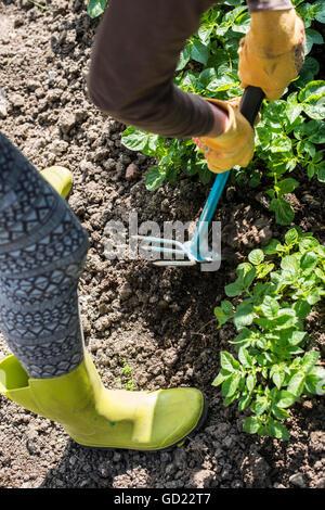 Hoeing potatoes in home garden - Stock Photo