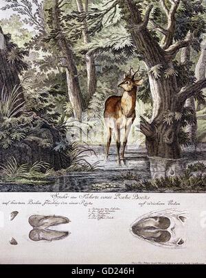 zoology, mammals, deer, roe deer (Capreolus capreolus), roebuck, coloured copper engraving by Johann Elias Riedinger, - Stock Photo