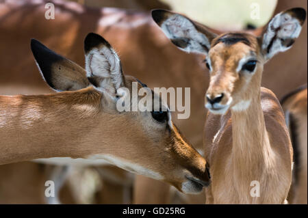 Impala (Aepyceros melampus), Lake Nakuru National Park, Kenya, East Africa, Africa - Stock Photo