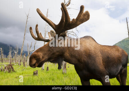CAPTIVE: Mature bull moose with antlers in velvet at the Alaska Wildlife Conservation Center in Portage, Southcentral - Stock Photo