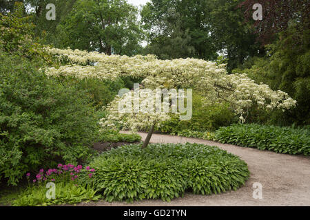 Cornus Controversa Variegata Table Dogwood Branch Of Variegated