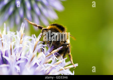 Close-up of bee on a flower - Stock Photo
