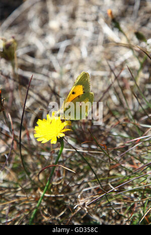 A Clouded Yellow (Colias croceus) butterfly on a yellow flower England UK - Stock Photo