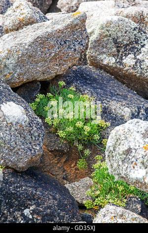 Samphire rock samphire or sea fennel (Crithmum maritimum) growing wild amongst the rocks Cornwall England UK - Stock Photo