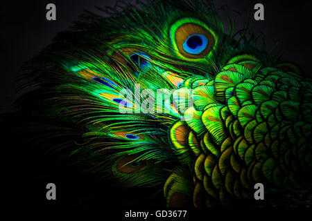 Peacock patterns and design - Stock Photo