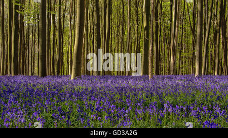 field of bluebell flowers in Hallerbos forest, Brussels - Stock Photo