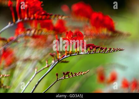 Crocosmia Montbretia, Lucifer - Stock Photo