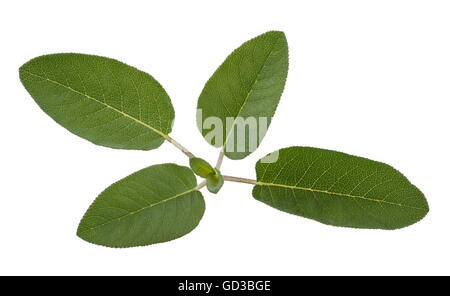 fresh sage isolated on white background - Stock Photo