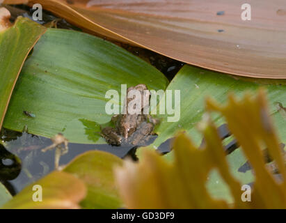 Froglet or young common frog (Rana temporaria) in pond, UK - Stock Photo
