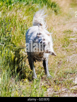 Platinum colored Golden Retriever dog shaking off water near a ranch pond - Stock Photo
