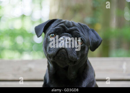 Black Pug, portrait on bench in forest - Stock Photo