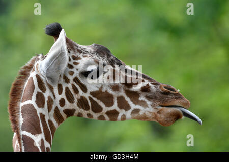 Reticulated Giraffe (Giraffa camelopardalis reticulata), portrait, sticks out tongue, captive - Stock Photo