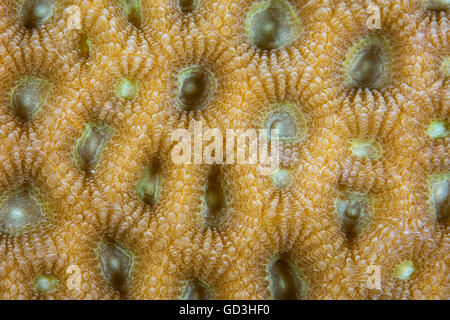 Detail of a reef-building coral growing in Indonesia. Coral colonies are composed of many individual polyps.