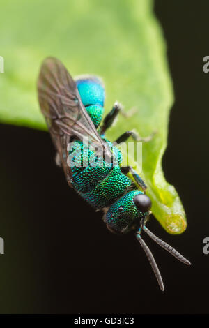 A Cuckoo Wasp (Chrysis sp.) hangs from the end of a leaf. - Stock Photo