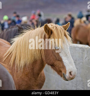 Annual Horse Round Up-Laufskalarett, Skagafjordur, Iceland - Stock Photo