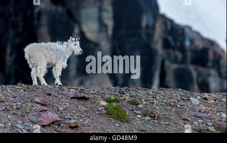 Young Mountain Goat Stands on Rocky Moraine in Montana's mountains - Stock Photo
