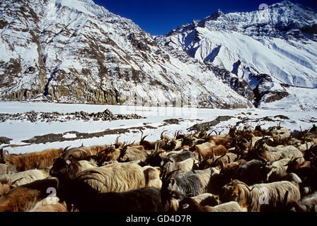 Mountain goats march through in the Winter , Spiti , Himachal Pradesh - Stock Photo