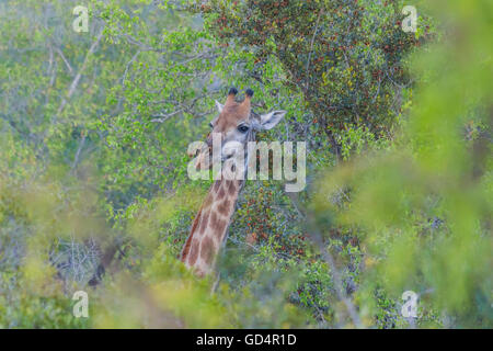 Giraffe sticking its head out from the trees in the bush - Stock Photo