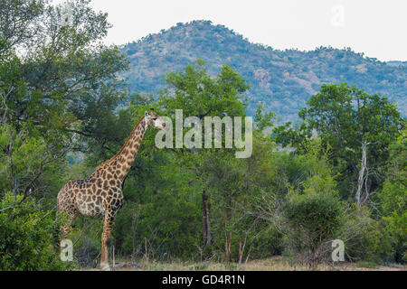 Giraffe standing in its environment in the bush Stock Photo