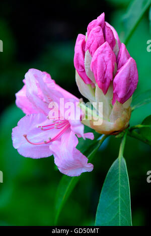 Rhododendron 'Pink Pearl', aufgehende Bluete / (Rhododendron griffithianum hybride) - Stock Photo