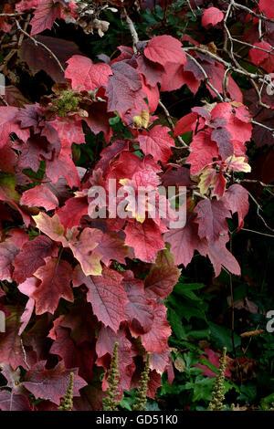 oak leaved hydrangea hydrangea quercifolia autumn. Black Bedroom Furniture Sets. Home Design Ideas