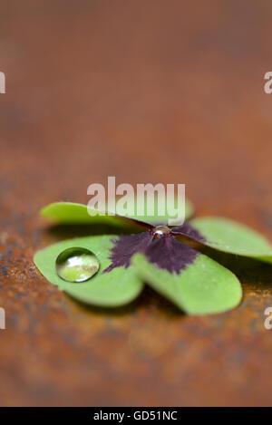 Vierblaettriges Kleeblatt  mit Wassertropfen, Oxalis deppei - Stock Photo