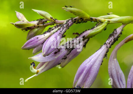 Aphids suck the sap on the Hosta flowers, Garden Pests close up - Stock Photo