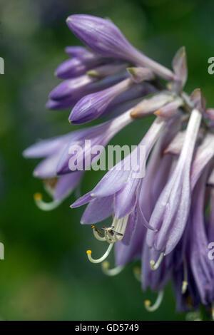 Hosta flowers, close up, Czech garden - Stock Photo