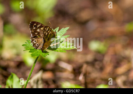 Speckled wood butterfly (Pararge aegeria) - Stock Photo