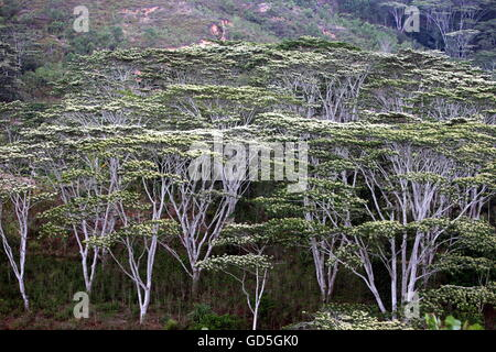 a tropical forest near the city of Dili in the south of East Timor in southeastasia. - Stock Photo