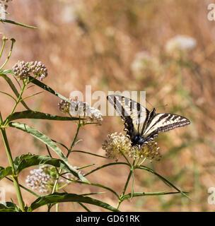Western Tiger Swallowtail (Papilio rutulus) feeding on milkweed plant.