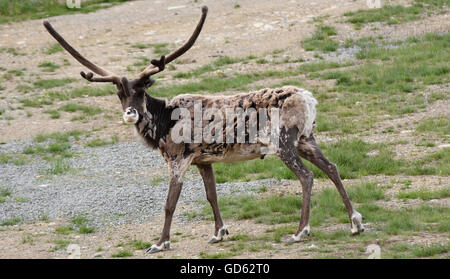 A reindeer (Rangifer tarandus), also known as caribou in stage of loosing the winter fur,picture from the North - Stock Photo