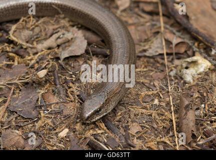 Slow worm (Anguis fragilis) in Berkshire, England - Stock Photo