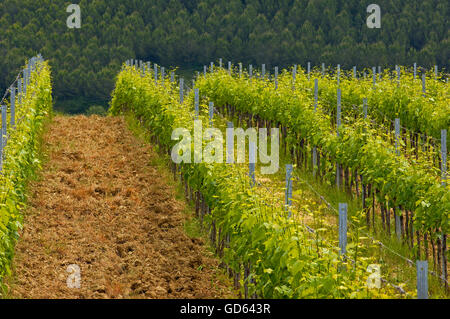 Vineyards, Tuscany Landscape, Near Asciano, Siena Province, Crete Senesi, Tuscany, Italy - Stock Photo