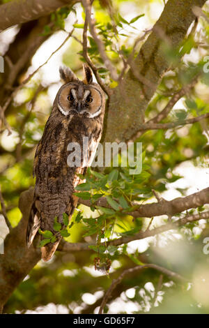 Long-eared Owl (Asio otus) in a tree. This owl inhabits woodland near open country throughout the northern hemisphere. - Stock Photo