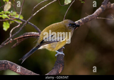 New Zealand Bellbird is a passerine bird in the honeyeater family and endemic to New Zealand. - Stock Photo