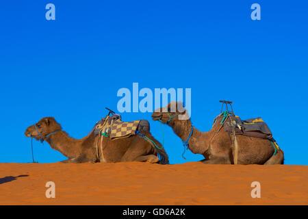 Merzouga, Erg Chebbi, Merzouga sand dunes, Camel, Sahara Desert, Morocco, Maghreb, North Africa, - Stock Photo