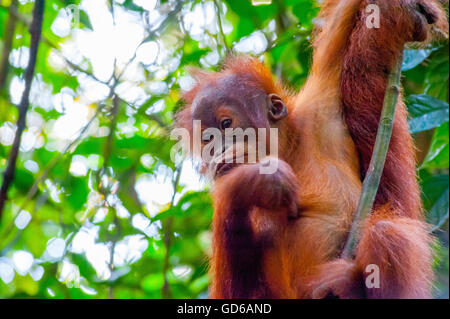 Protected Sumatran Orangutan swinging on a tree in Bukit Lawang rainforest of Sumatra, Indonesia - Stock Photo
