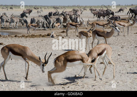 Two springboks fighting near the waterhole in Etosha. In the background other antelopes. - Stock Photo