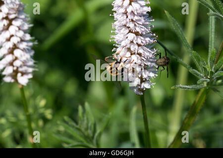 Gemeine Sonnenschwebfliege an einer Pflanze  Common hover fly on a plant - Stock Photo