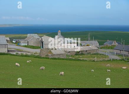 Operational Sheep farming at Evie North Mainland Orkney Isles, Scotland.  SCO 10,567. - Stock Photo