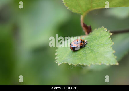 Harlequin ladybird pupa on a leaf - Stock Photo