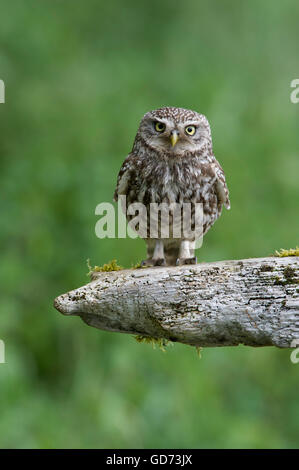A Little Owl (Athene noctua) perched on old rotting fencing in farmland in the Yorkshire countryside. - Stock Photo