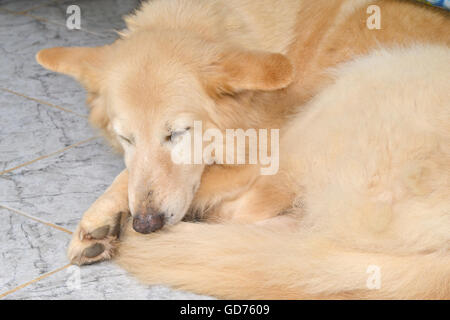 Closeup on a tan old and muddy German shepherd sleeping on the floor - Stock Photo