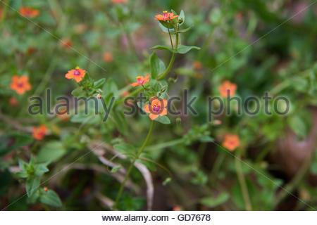 Common Garden Weeds - Anagallis arvensis - Scarlet Pimpernel Stock ...