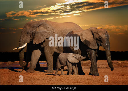 Baby african elephant (Loxodonta africana), suckling in late afternoon, and troop, Addo Elephant National Park, - Stock Photo